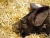 Schwäbisch-Hällisches Landschwein Ferkel