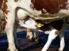 Kalb beim Milchsaugen